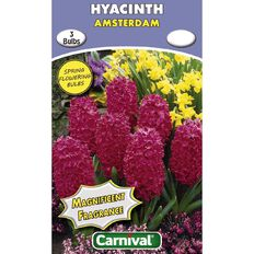 Carnival Hyacinth Bulb Amsterdam 3 Pack